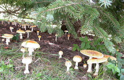 Fly agaric under evergreen