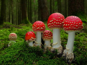 fly agaric mushrooms